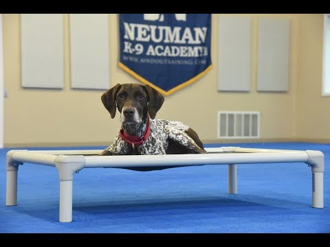 Koda (German Shorthair Pointer) Boot Camp Dog Training Video Demonstration