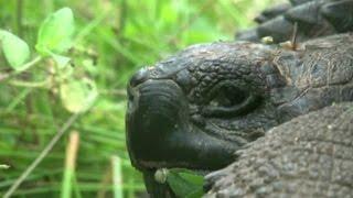 Велетні з Галапагосів: вчені знайшли новий вид черепах