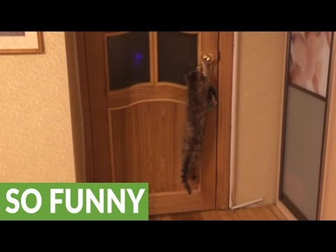 Smart elderly cat flawlessly opens door