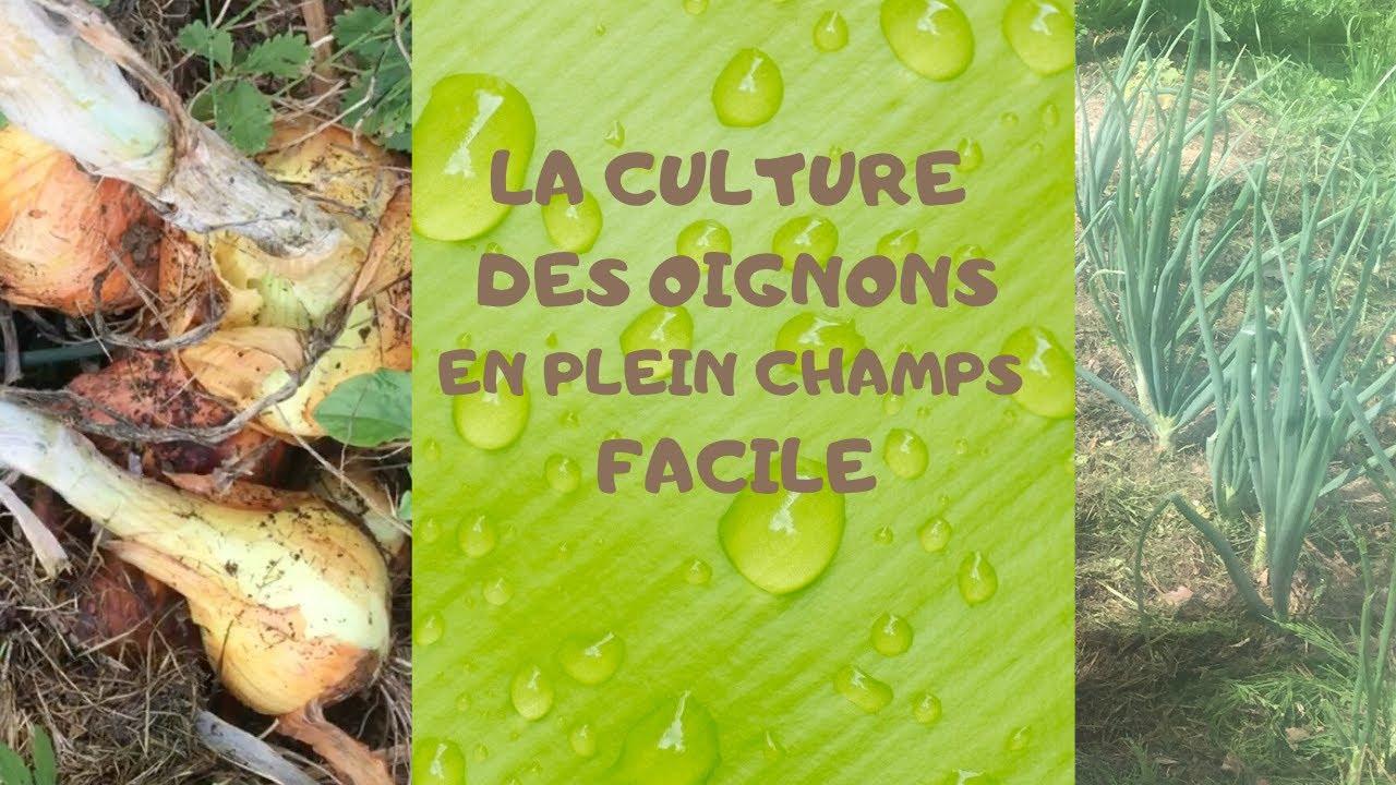 Comment planter des oignons: Culture des oignons rouge et ...