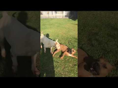 Bull Terrier X American Bully