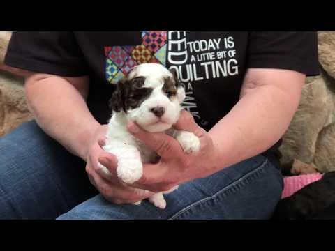 Brandy's schnoodle puppies eye open 5-29-19