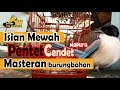Masteran Pentet Cendet Gacor Untuk Burung Bahan Isian Mewah Kapas Tembak  Mp3 - Mp4 Download