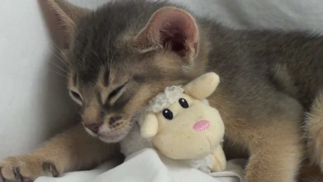 Cute Kitten sleeping with Teddy Bear
