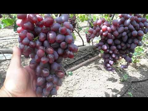 Виноград - Диво ( 5-й год испытаний).