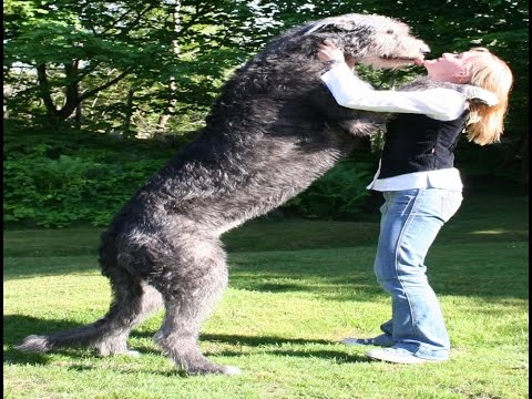 Irish Wolfhound Dog Breed | Irish wolfhound (Galgo ...