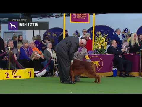 Irish Setter | Breed Judging 2019