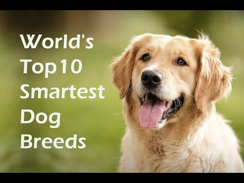 Top 10 Smartest Dog Breeds | Top Ten Smartest Dogs in the World
