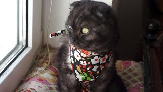 Стерилизация Пумы. Шотландская вислоухая черная кошка