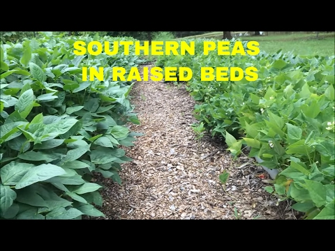 2016 Raised Bed Garden Update ~ WOW~Southern Peas !