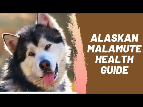 Alaskan Malamute Health Guide