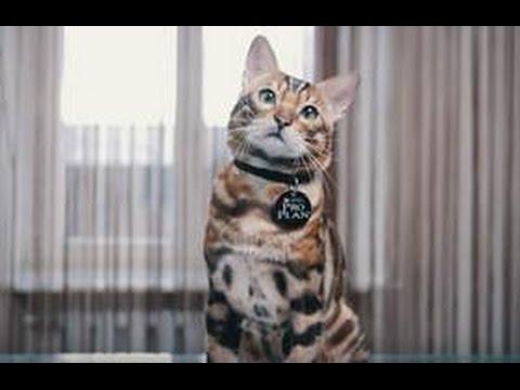 Кошки и котята бенгальской породы. На доске объявлений olx. Ua украина легко и быстро можно купить котенка породы бенгальская. Заведи друга прямо сейчас!