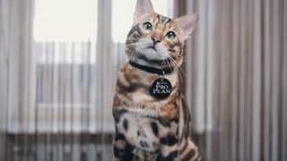 Бенгальский кот ➠ Узнайте все о породе кошек