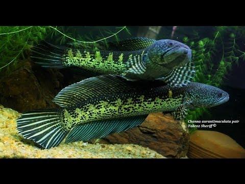 Channa Aurantimaculata Pair Golden Cobra Snakehead Youtube