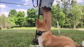 Train Shiba Puppy Down command...No food dog Training