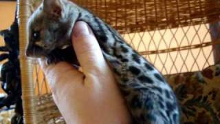 Baby Spotted Genet Playing, Our Pet genet, Genets as pets