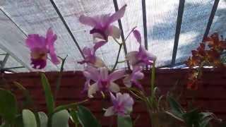 Орхидеи Шри Ланка (Видео Турист)(Видео Турист Орхидеи Шри Ланка (Видео Турист), 2015-04-11T12:03:21.000Z)