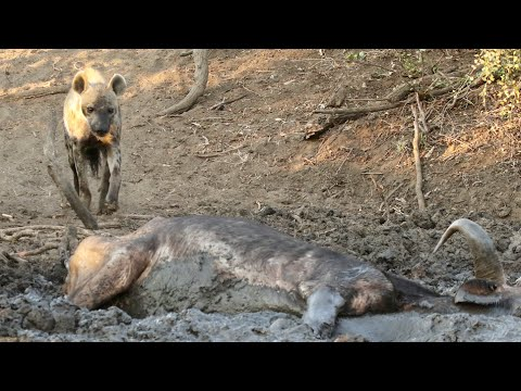 Hyena Finds Buffalo Alive & Stuck in Mud