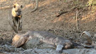 Hyena Finds Buffalo Alive & Stuck in Mud