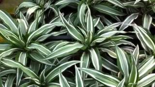 Dracaena species