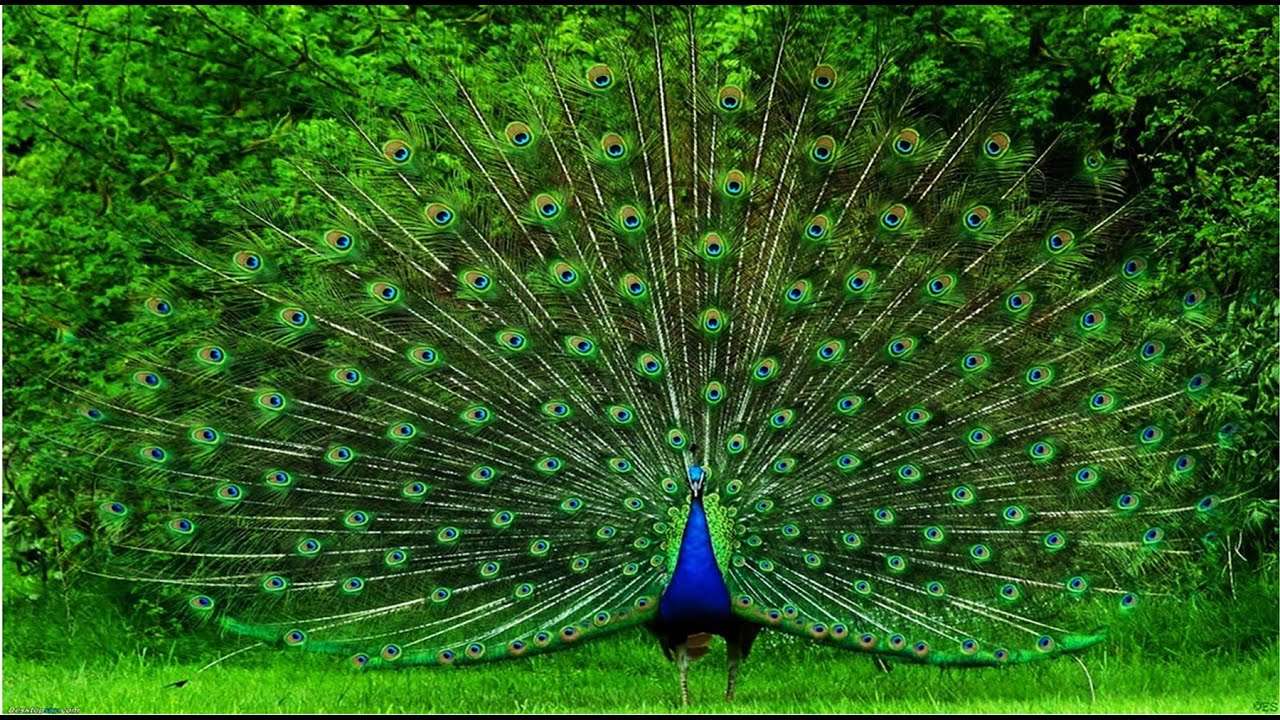collection of most beautiful peacock youtube