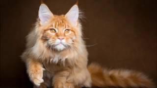 Угадай породу кошки