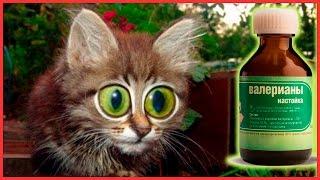 Что будет если коту дать валерьянку? Кот сошел с ума!!!