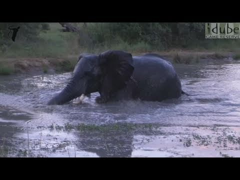 Hippo Gets Upset With Swimming Elephant
