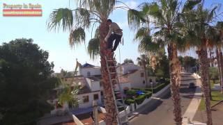Уход за пальмами в Испании, обрезка листьев каждый год