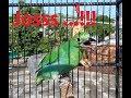 Suara Burung Cucak Ijo Betina Memanggil Jantan Cocok Untuk Pancingan  Mp3 - Mp4 Download