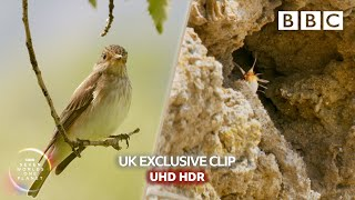 Little animal hunted in a most bizarre attack (UHD/HDR) | Seven Worlds, One Planet - BBC Earth