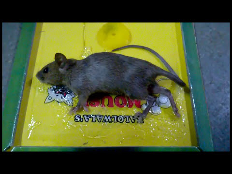 How To Trap Small Mouse With Glue Pad Youtube