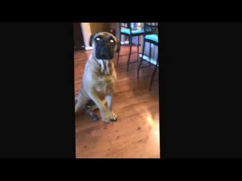 French Bulldog outed by Bull Mastiff
