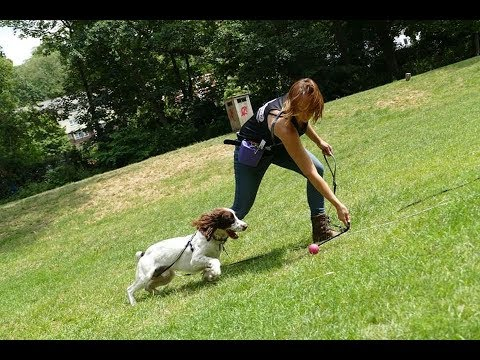 Hudson - 2 Year Old Springer Spaniel - 4 Weeks Residential Dog Training