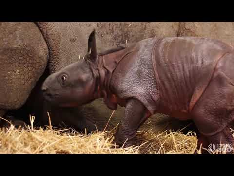 Toronto Zoo welcomes a baby one-horned rhino | Explore