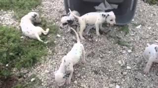 Molly's Dalmatian Puppies - Curio Kennel Cocoa, Fl