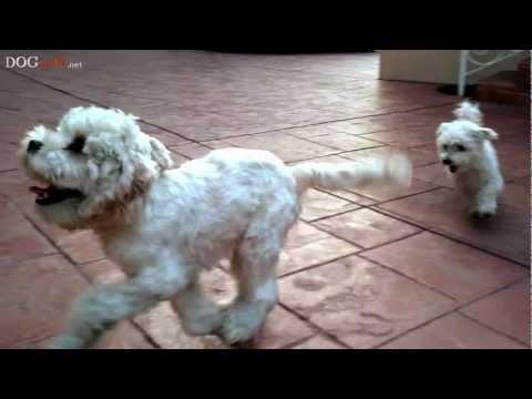 Our English Cocker Spaniel Shih Tzu Mut Funnydogtv