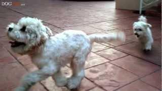 9 Year Old Tobi Vs 6 Month Old Shih Tzu Cocker Spaniel Mix
