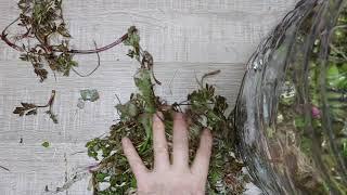 향이 좋은 돌미나리 뿌리채 만드는 액기스