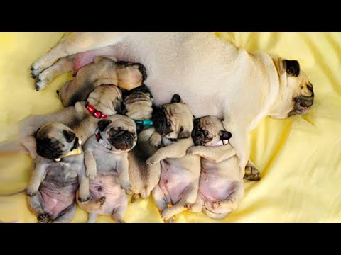 Funniest and Cutest Pug Dog Videos Compilation 2020 - Cutest Puppy #11