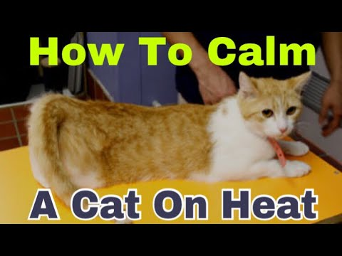 How To Calm A Cat On Heat. Solution To Give Her Pleaser