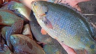 เทคนิคการเลี้ยงปลาหมอในบ่อดิน เลี้ยงง่าย ตัวโต กำไรงาม