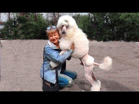 Королевский пудель Иржик на выставке собак. Large white royal poodle. Одесса.
