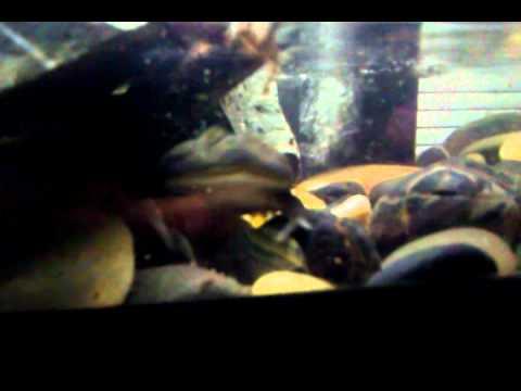 Baby Budgett Frog Mongo eating.