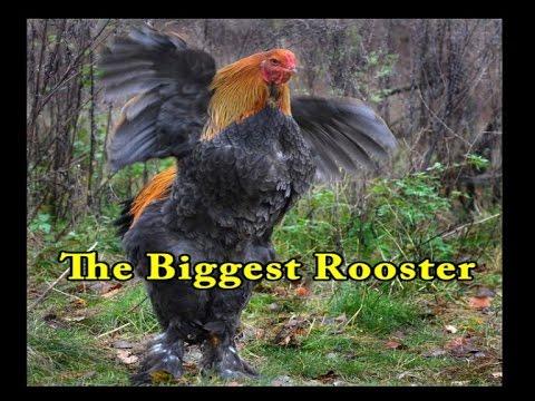 World's Biggest Chicken / Unbelievable Videos / This ...