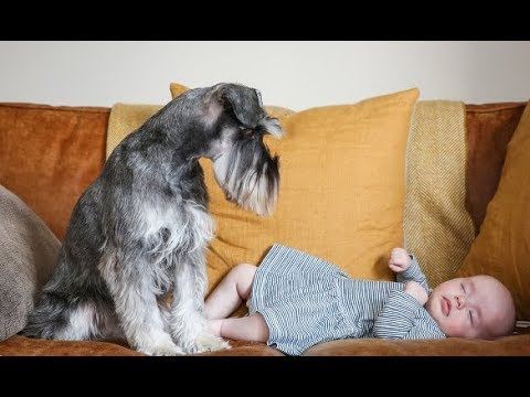 Schnauzer puppies play with baby ! Dogs with babis