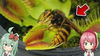 「スズメバチ VS 食虫植物」 戦わせてみたら凄い瞬間が撮れた! (ハエトリソウ編) Hornet VS Venus Flytrap【食虫植物TV】
