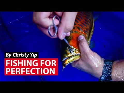 Fishing For Perfection: Cosmetic surgery for pet fishes | CNA Insider
