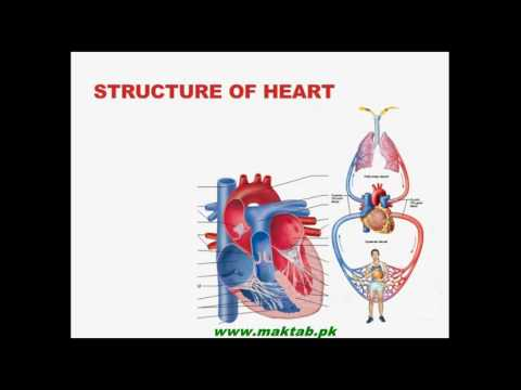 Fsc biology book1 ch 14 lec 12 structure of human heart youtube fsc biology book1 ch 14 lec 12 structure of human heart ccuart Image collections