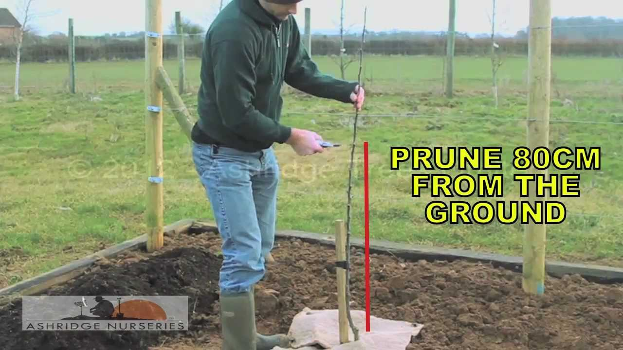 5 Pruning A 1 Year Old Maiden Fruit Tree For Bush Sized